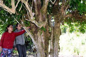 Vùng Tây Sơn Thượng đạo đưa cây trái dại vào phát triển du lịch