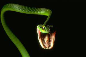Vì sao 'sát thủ độc' thành 'thương hiệu' của loài rắn?