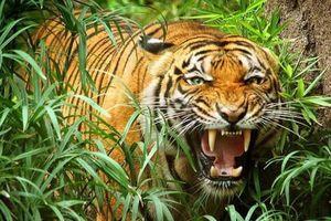 Chuyện ly kỳ về võ sĩ đấu vật Hải Phòng dùng giáo giết hổ dữ khổng lồ ăn thịt 72 người