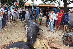 Cá voi 'khủng' hơn 2 tấn, dài 6m dạt vào bờ biển Khánh Hòa