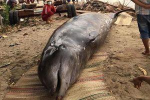 Khánh Hòa: Cá voi hơn 2 tấn, dài 6m dạt vào bờ biển