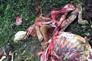 Kẻ trộm táo tợn xẻ thịt cả bò mẹ đang mang thai