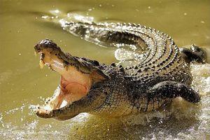Cá sấu 'đi lạc' vào khu dân cư, hàng chục người cố gắng vây bắt