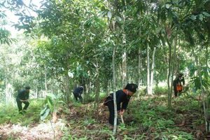 Phong Dụ Thượng đổi thay từ trồng quế sạch