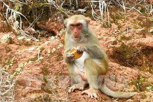 Đà Nẵng khuyến cáo khách du lịch không nên dụ khỉ đến gần bằng bánh kẹo