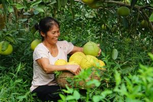 Phu Tho builds trademarks for local farm specialities