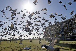 Mục sở thị giống bồ câu đua có giá hàng chục tỷ đồng