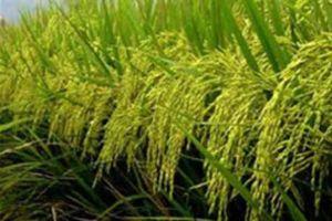 Thái Lan sắp thực hiện chương trình đảm bảo giá lúa gạo cho nông dân