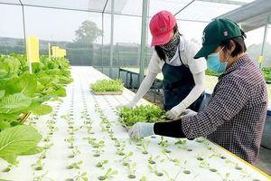 Đào tạo nghề trồng rau thủy canh công nghệ cao