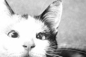 Những dự án siêu bí mật của Mỹ: Biến mèo thành gián điệp