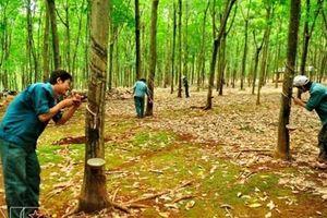 Phát triển kinh tế trang trại cao su, điều trên địa bàn tỉnh Bình Phước