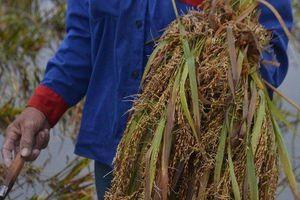 Lúa nảy mầm trên bông, người nông dân khóc ròng