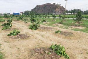Chặt vườn cây của chủ tịch xã vì đội bóng chuyền bị loại