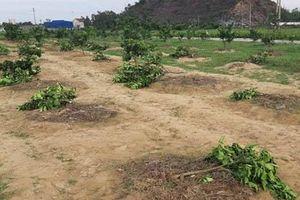 Chặt vườn cây bưởi nhà Chủ tịch xã để trả thù cá nhân