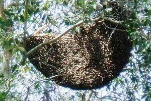 Nghệ An: Phá tổ ong, người đàn ông bị đốt tử vong
