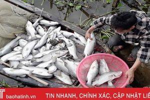 Hơn 80 tấn cá chẽm chết trắng, có thể do sốc nước ngọt?