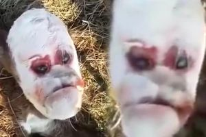 Xuất hiện con bê đột biến gen có khuôn mặt giống con người gây ám ảnh