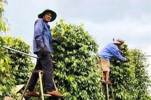 Sản xuất tiêu hữu cơ bền vững