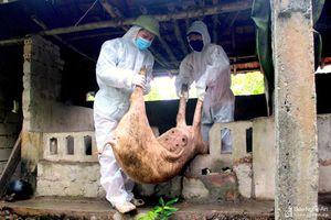 Dịch tả lợn châu Phi lây lan mạnh tại Hưng Nguyên, Tân Kỳ