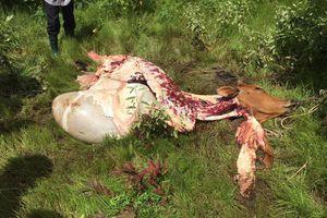 Bốn người làm thịt con bò đi lạc bị khởi tố