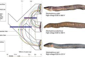 Lươn phóng điện mạnh nhất thế giới được tìm thấy ở Amazon