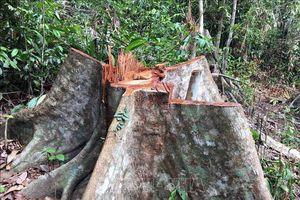 Vụ mất hơn 1.200 ha rừng ở Gia Lai: Đề nghị chuyển hồ sơ sang Công an xử lý