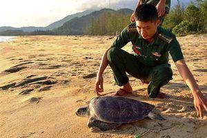 TT- Huế: Thả cá thể rùa quý hiếm về biển