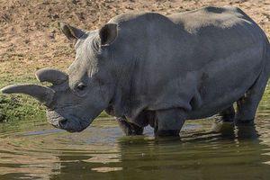 Cấy ghép thành công phôi thai của loài tê giác trắng