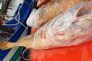 Ngư dân Cà Mau đánh bắt được 2 con cá sủ vàng nặng 70kg