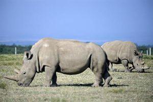 Các nhà khoa học cấy ghép thành công phôi thai của loài tê giác trắng