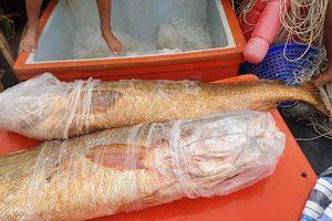 Ngư dân Cà Mau bắt được cặp cá sủ vàng quý hiếm nặng 70 kg