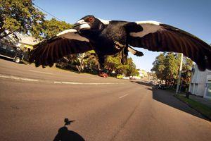Tử vong vì đâm phải chim ác là bay ngược chiều