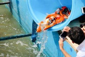 Thả thử nghiệm cá Koi Nhật Bản xuống sông Tô Lịch và Hồ Tây