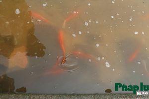 Ngắm cá chép Koi Nhật Bản tung tăng bơi lội dưới sông Tô Lịch
