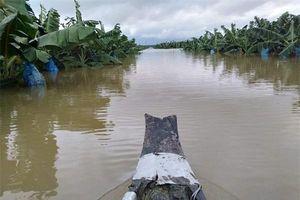 Áp thấp nhiệt đới gây ngập lụt 1.500 ha trái cây chuẩn bị thu hoạch và ra trái của HAGL tại Lào
