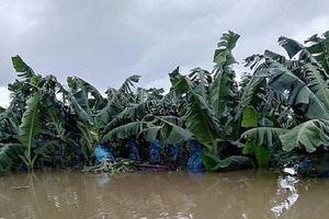 1.500 ha trái cây của HAGL Agrico tại Lào bị ngập lụt