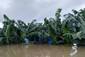 1.500 ha trái cây của bầu Đức tại Lào chìm trong biển nước