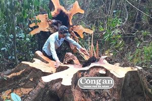 Khẩn trương kiểm tra, xử lý nghiêm vụ phá rừng tự nhiên ở Bắc Trà My