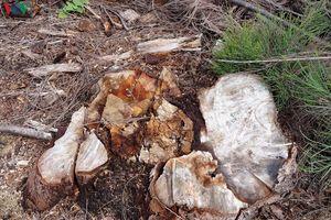 Dân lo lắng vì hơn 140 ha rừng dương chắn cát ở Bình Định bị tàn phá