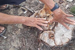 Ai 'thủ tiêu' hơn 140 ha rừng dương lá chắn thiên tai ở Bình Định?