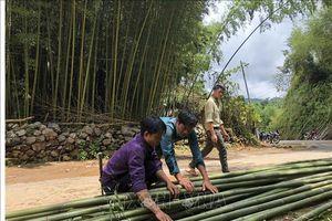 Thu tiền triệu từ trồng cây trúc