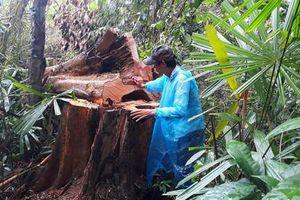 Thông tin mới về hoạt loạt cây cổ thụ ở huyện Bắc Trà My bị đốn hạ