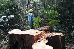 Lâm tặc tàn phá cây cổ thụ ở Quảng Nam: Bắt được gỗ cất giấu nhưng chưa bắt được thủ phạm