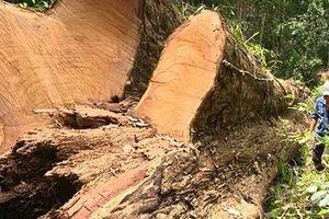 Loay hoay việc bảo vệ rừng giáng hương cổ thụ