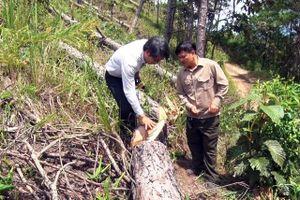 Ngang nhiên cưa hạ rừng thông hơn 20 năm tuổi tại Lâm Đồng