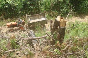 Rừng thông tại Lâm Đồng tiếp tục bị 'cạo trọc'