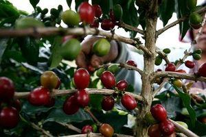 Cạnh tranh với Việt Nam, Brazil tăng sản lượng cà phê Robusta