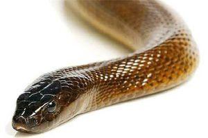 Mục sở thị loài rắn độc nhất thế giới