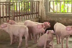 Giá lợn hơi lên mức kỷ lục 3 năm