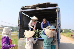 Phú Thọ: Dân thắng lớn vì trồng bí xanh lại thu được 'vàng'